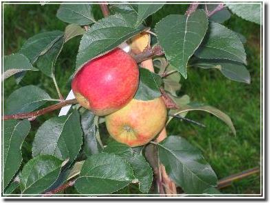 Apfelbäumchen