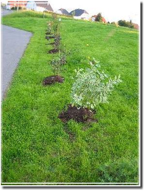 frisch gepflanzte Büsche